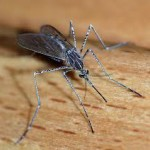 Do Mosquitoes Have Any Importance?