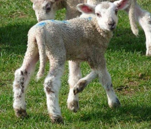 Jake, the lamb boen with five legs in Wales.