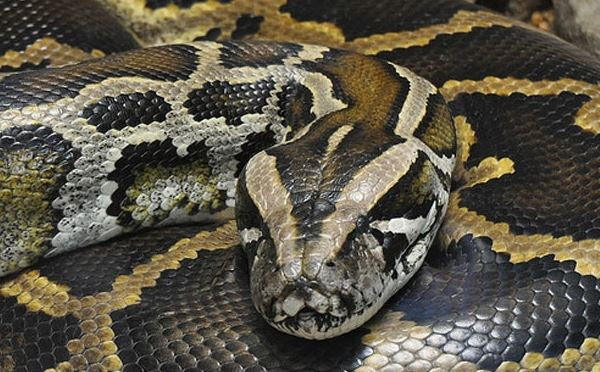 Police rescue a Kentucky reptile shop owner from a giant python.