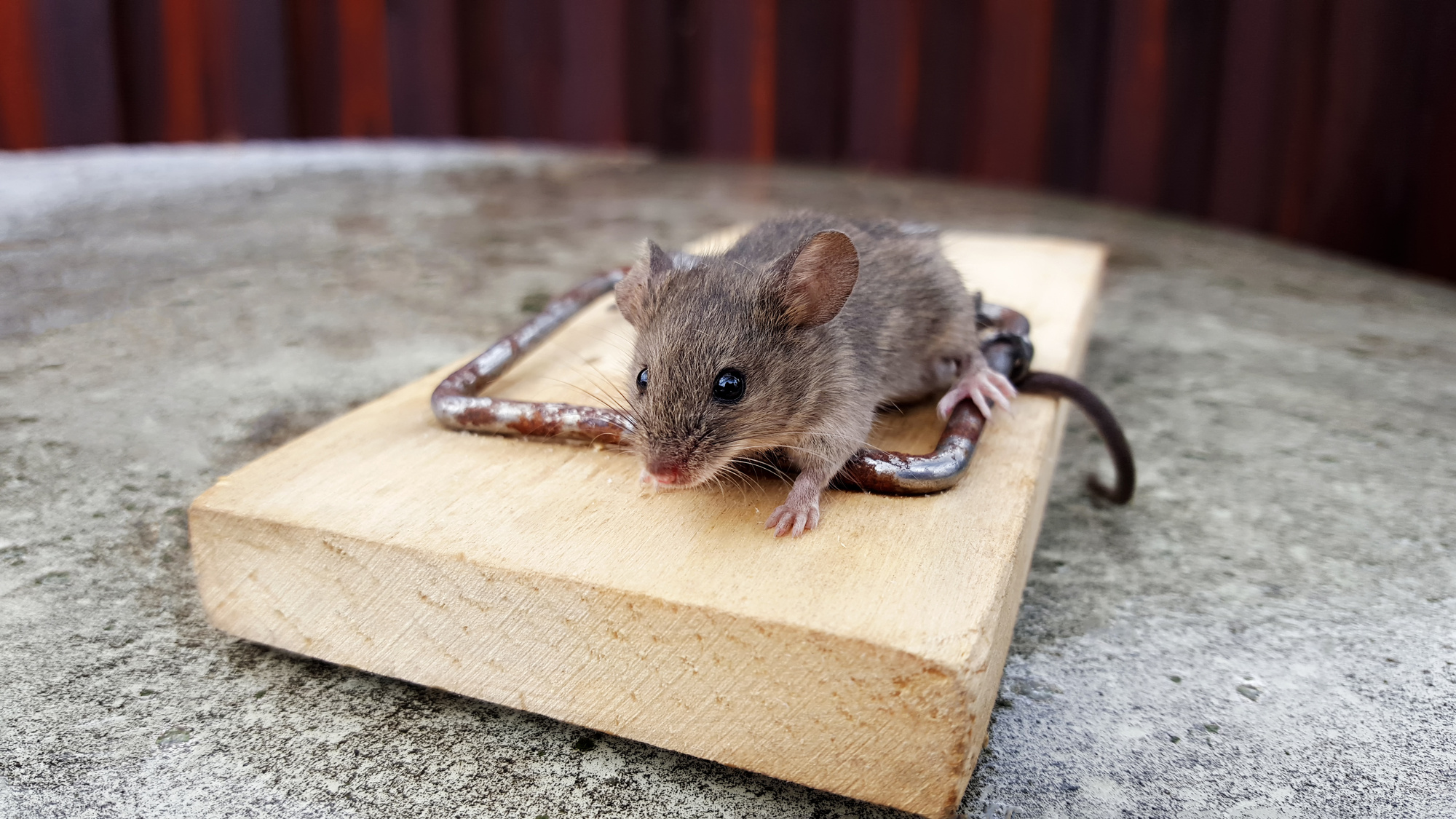 How To Get Rid Of Rats And Keep Them Away From Your Home
